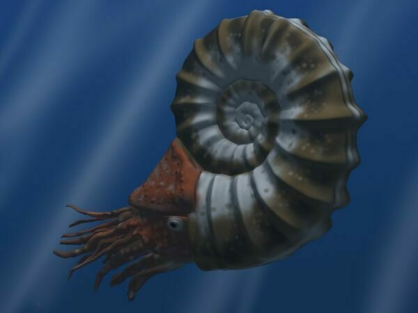 Artists reconstruction of an ammonite.  By Nobu Tamura